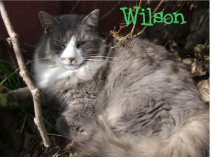 wilsoni